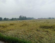 Petani Deliserdang Terancam Gagal Panen, Puluhan Hektar Tanaman Padi Tumbang