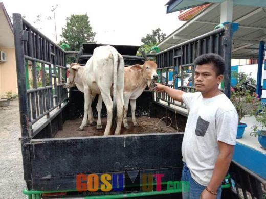 Ditangkap Reskrim NA IX-X, 3 Spesialis Pencuri Lembu Ternyata masih Bersaudara Dekat dengan Korban